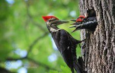 Woodpecker Family by rajiurrahman #animals #animal #pet #pets #animales #animallovers #photooftheday #amazing #picoftheday