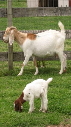 Goats for blackberry abatement and adorableness.