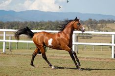 GE Arabian Pinto Stallion by Chunga-Stock on deviantART