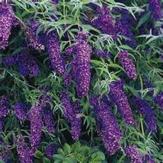 Just bought my very first Butterfly Bush. Can't wait to plan it.