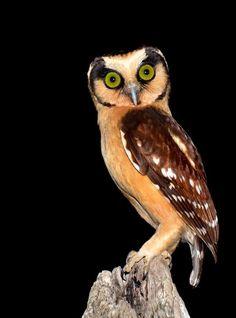 Buff-fronted Owl, Aegolius harrisii. Highlands of South America.