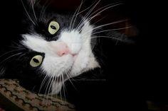 Micio Cat   Pawshake Cork