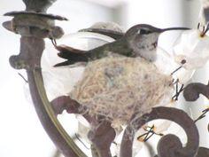 ~ sweet hummingbird nesting in an outdoor chandelier