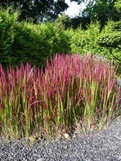 Imperata cylindrica 'Red Baron' / Japanisches Blutgras