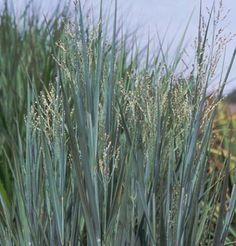 Panicum 'Heavy Metal' Love ornamental grasses, always lookin' for more.