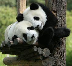 Happy pandas at The Giant Panda Breeding Center near Chengdu, Sichuan, China • photo: via GoChengDu