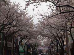 전농로 벚꽃길