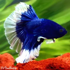 Halfmoon Butterfly Male Betta