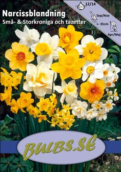 NarcissusPåsk och pingstliljor - Blandning