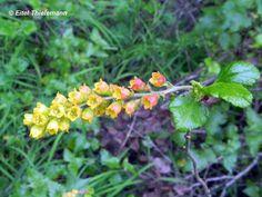 Ribes punctatum (zarzaparrilla)