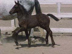 """Embryo transfer Friesian filly trotting with her """"mom."""" This filly's mother is a Model mare, and because Model mares are so rare, it is common to use a surrogate to carry their offspring."""