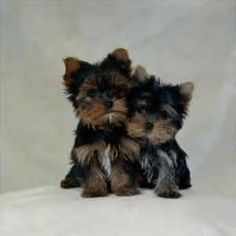 I just love Yorkie poo's. They're so cute.