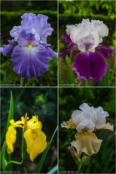 I'm not sure if iris is her favorite flower, but she has a huge plot of them in her garden, in dozens of colors.