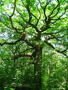 Photos from Brittany : Le chêne du Hindré, un des arbres remarquables de Brocéliande. Brocéliande is a forested area commonly associated with Paimpont forest and its surroundings. This land is rich in Neolithic sites named after the legend of King Arthur (eg Hotié de Viviane). There are also wild moors and steep, wooded valleys. Landscapes and legends contribute to giving this part of Brittany a mystical feeling.