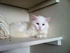 fee072b4d4 ADOPT ME! Sochi from Hungry and Homeless Cat Rescue in Ottawa Ontario.
