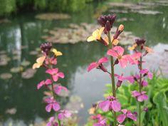 pond plants in Monet's garden by N McLean Pond Plants, Water Plants, Giverny France, Outdoor Ponds, Backyard Plan, Koi Ponds, Monet, Garden, Garten