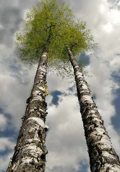 Two trees in the clouds. Two Trees, Birch Trees, Tree Forest, Tree Of Life, Trees To Plant, Beautiful World, Bonsai, Scenery, Plants