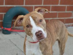 TO BE DESTROYED 7/14/14 Brooklyn Center My name is SERGIO. My Animal ID # is A1005846. I am a male br brindle and white pit bull mix. The shelter thinks I am about 1 YEAR I came in the shelter as a STRAY on 07/07/2014Volunteer says: He's full of energy, but not the kind that overwhelms you. He was super happy and playful when he saw another dog. He likes to be pet and hugged!