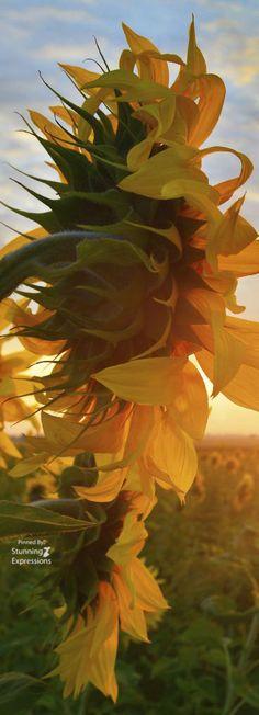 Sunflower, jagged softy spiky back. Sunflower Flower, Sunflower Fields, Sunflower Leaves, Sunflower Garden, Happy Flowers, Beautiful Flowers, Sun Flowers, Sunflowers And Daisies, Sunflower Pictures