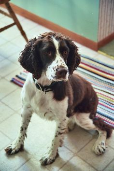 English Springer Spaniel Puppy Dog ...makes me think of my Springer Spaniel Scout