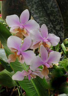 Phalaenopsis Schilleriana | Re: Phalaenopsis 'Philadelphia' = wiganae = stuartiana x schilleriana'