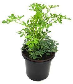 plantas contra la envídia