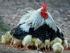 Protecting the young- so sweet!  http://www.backyardchickencoops.com.au/learning-centre/