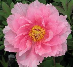 Duchess of Marlborough - Japanese Tree Peony