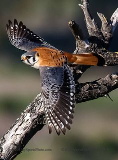 the smallest and most common falcon in North America.measures to inches long with a inch wingspan.often used as a beginner's bird in falconry All Birds, Birds Of Prey, Love Birds, Pretty Birds, Beautiful Birds, Animals Beautiful, Bird Pictures, Animal Pictures, Rapace Diurne