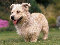 Irish Glen of Imaal Terrier : chien et chiot. Chow Chow, Pug, I Love Dogs, Cute Dogs, Irish Dog Breeds, Glen Of Imaal Terrier, Dog Breed Names, Terrier Dog Breeds, Irish Terrier