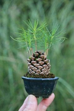 Pine tree pinecone sprouting seedlings