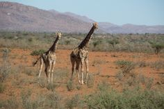 Stopping to watch giraffe on our mountain biking safari in Namibia.  #mountainbiking #safari #namibia