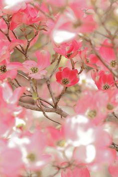 Dogwood  blossom | Flickr - Photo Sharing!