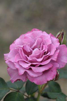 ~Floribunda Rose: Rosa 'Angel Face' (U.S., 1968)