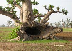 Baobab tree, Senegal