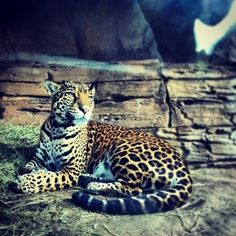 Jaguar at Woodland Park Zoo - Seattle, WA Woodland Park Zoo, Octopuses, Foxes, Jaguar, Panther, Summertime, Creatures, Instagram Posts, Nice
