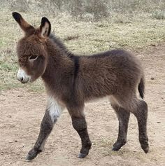 A very cute baby donkey Baby Donkey, Cute Donkey, Mini Donkey, Baby Cows, Donkey Donkey, Cute Baby Animals, Animals And Pets, Funny Animals, Farm Animals