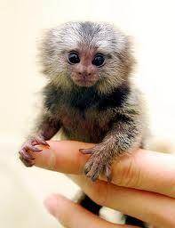 Cute Marmeset monkey!!!!!!!!!