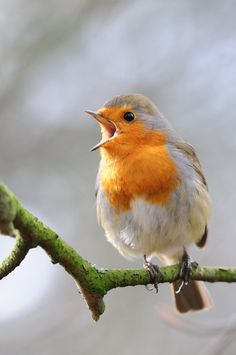 Singing Robin by Lee Adcock