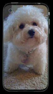 Bichon Frise iPhone Skin