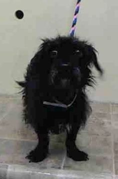 """RETURNED 02/12/15 - """"PETS CONFLICT"""" *** --- SAFE 1/14/15 --- Manhattan Center SUNSHINE - A1024838 FEMALE, BLACK, CAIRN TERRIER MIX, 4 yrs STRAY - STRAY WAIT, NO HOLD Reason STRAY Intake condition EXAM REQ Intake Date 01/06/2015, From NY 10468, DueOut Date 01/09/2015 https://www.facebook.com/Urgentdeathrowdogs/photos/pb.152876678058553.-2207520000.1420663398./939045906108289/?type=3&theater"""
