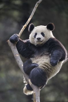 So the problem is... when I see a picture of a panda bear, I can't just NOT re-pin it... so here ya go. :)