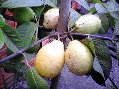 Goiaba - Essa é do fundo do quintal! Super doce e macia, perfeita!!! Brazilian Fruit, Pear, Guava Fruit, Pith Perfect, Candy, Bulb