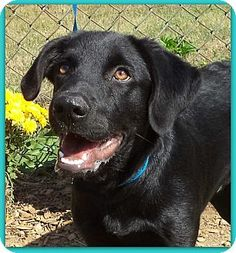 Act quickly to adopt Pets at this Shelter may be held for only a short timeMarietta, GA - Labrador Retriever Mix. Meet CHIP a Puppy for Adoption.