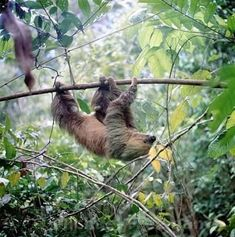 Central America, South America, Cute Sloth Pictures, Sloth Eating, Baby Sloth, Sloths, My Spirit Animal, In The Tree, Animal Kingdom