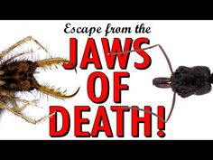 U of IL Study: Ants Escape from the jaws of death! - YouTube bit.ly/1RTDQqR