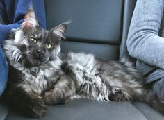 Florence Coon Artú Black Smoke Maine Coon Kitten