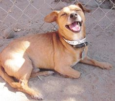 Meet PUPPOE, a Petfinder adoptable Terrier Dog   Fresno, CA   Okay, lets get this settled right now. I am a senior, but I got a lot of good years left to play...