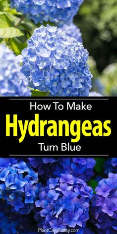 How To Make Hydrangeas Turn Blue Making hydrangea turn blue begins with knowing the pH of the soil. Adding amendments to the soil to make it more acidic helps the flowers turn blue. Hortensia Hydrangea, Hydrangea Landscaping, Hydrangea Colors, Hydrangea Care, Hydrangea Flower, Garden Landscaping, Privacy Landscaping, Landscaping Design, Vegetable Gardening