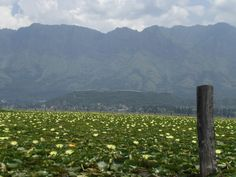 White Lillies at Dal lake